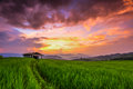 Rice Field In The Sunset Royalty Free Stock Photo - 37428865
