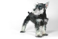 Cute Baby Miniature Schnauzer Puppy Dog On White Royalty Free Stock Images - 37438399