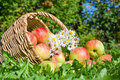 Harvesting Of Red Juicy Ripe Apples Stock Images - 37442114