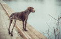 Kurzhaar - German Shorthaired Pointer Royalty Free Stock Photos - 37451618
