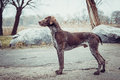 German Shorthaired Pointer Royalty Free Stock Photo - 37451635
