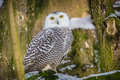 Snowy Owl Stock Images - 37471874