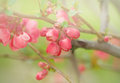 Flowering In Spring - Budding Bud Royalty Free Stock Photography - 37479737
