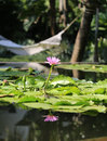 Water Lily In A Pond Stock Photo - 37493480
