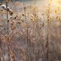 Frozen Plants Against The Light In Wintertime Royalty Free Stock Photos - 37496508