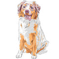 Vector Dog Red Australian Shepherd Breed Royalty Free Stock Images - 37506049
