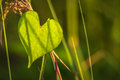 Heart Leaf Royalty Free Stock Photo - 37537435