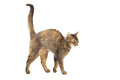 Purebred Abyssinian Cat Stock Photo - 37539570