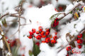 Rose Hips In The White Snow Royalty Free Stock Photo - 37546555