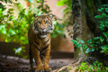 Tiger In Forest Stock Images - 37547834