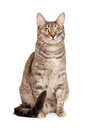 Sitting Gray Tabby Cat Royalty Free Stock Images - 37585189