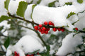 Holly Bush With Snow Stock Image - 3766241