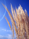 Wild Grasses Royalty Free Stock Photography - 3769727