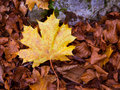 Autum Alamo Yellow Leaf In A Beech Forest Pyrenees Ordesa Royalty Free Stock Images - 37612739