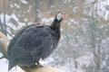 Guinea-fowl Stock Images - 37614254