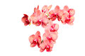 Big Bunch Of Pink Tint Orchid Delicate Flowers Royalty Free Stock Photos - 37614808