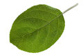 Apple Leaf Closeup Royalty Free Stock Photography - 37636177