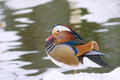 Mandarin Duck Stock Photography - 37641872