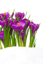 Crocuses In Snow Royalty Free Stock Photography - 37643467