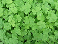 Clover Patch Royalty Free Stock Images - 37644479