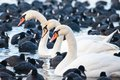 White Swans On A Lake, Around Many Coots. Stock Images - 37645814