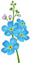 Illustration With Forget-me-not Flower Royalty Free Stock Photo - 37648835
