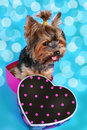 Sweet Yorkshire Dog Sitting In Heart Shaped Box Royalty Free Stock Image - 37649056