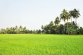 Rice Field Scenery With Coconut Trees Stock Image - 37661931
