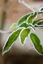 Green Frosty Leaves Stock Photography - 37665672