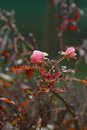 Frosty Wild Roses Royalty Free Stock Images - 37666499