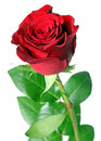 Red Rose Royalty Free Stock Image - 37666936
