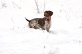 Dog In Snow Royalty Free Stock Photos - 37667118