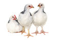 Chickens On White Background Stock Photography - 37671142