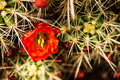 Barrel Cactus Flowers Stock Photo - 37691780