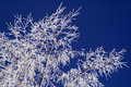 Hoar-frost On Birch And Sky Royalty Free Stock Photos - 3771018
