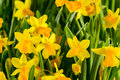 Spring Flowers Yellow Narcissus Royalty Free Stock Photo - 37710225