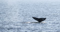 Gray Whale Tail Royalty Free Stock Image - 37711146