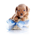 Puppy In A Wattled Basket With A Blue Bow. Stock Photography - 37720002