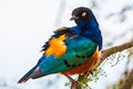 Superb Starling Stock Photo - 37721090