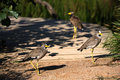Lapwing Stock Images - 37749204