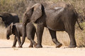 Elephant Cow And Calf Wet Walking Over A Dry Road Protecting Stock Photos - 37756033