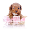 Puppy In A Wattled Basket With A Pink Bow. Stock Photos - 37761163