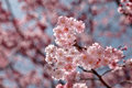 Sakura Or Pink Cherry Blossom In Spring, Japan Royalty Free Stock Image - 37768726