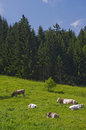Alpine Meadow Cows Royalty Free Stock Image - 37774126