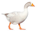 Goose Royalty Free Stock Images - 37793699