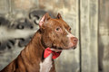 Brown American Pit Bull Terrier Stock Images - 37795394