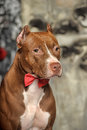 Brown American Pit Bull Terrier Stock Photography - 37795812