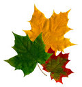 Maple Leaf Stock Images - 3788874