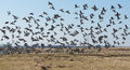 Barnacle Geese Flying Away In A Dutch Polder Landscape Royalty Free Stock Photo - 37800965