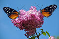 Heliconius Hecate Butterflies Stock Photo - 37821110